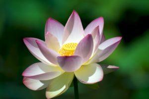 Lotus-Blossom